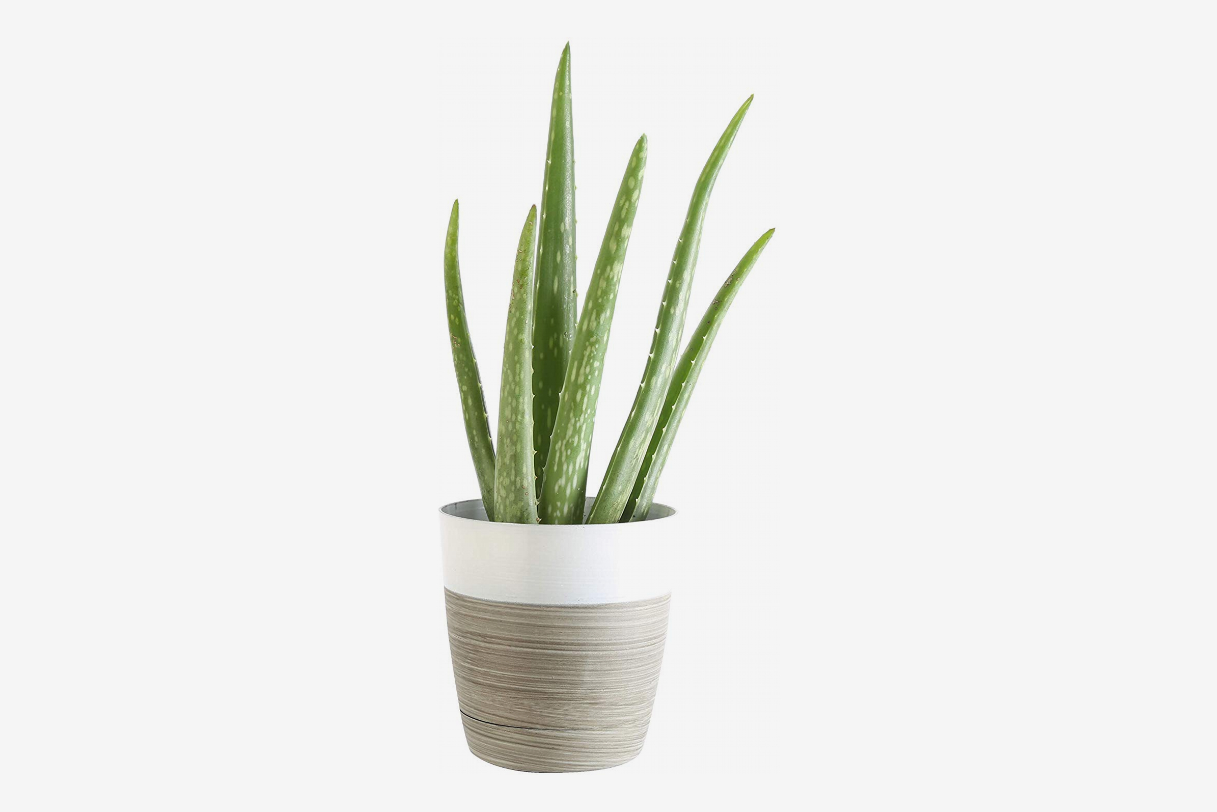 Costa Farms Aloe Vera Live Indoor House Plant, 10-Inch, White-Natural Planter