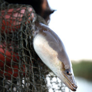 OUTWELL, UNITED KINGDOM - SEPTEMBER 30:  Traditional eel fisherman Peter Carter holds an eel at first light on September 30, 2010 near Outwell, England. This is the last day of the eel fishing season, which has been brought forward after new restrictions imposed by the Environment Agency who say stocks of eels are too low. Mr Carter's family have caught eels in the Fens area of Norfolk for 500 years using traditional wicker traps or hives. The hives take 3 hours to make , can last up to two years and are baited with chicken guts, road kill or worms.  (Photo by Peter Macdiarmid/Getty Images) *** Local Caption *** Peter Carter