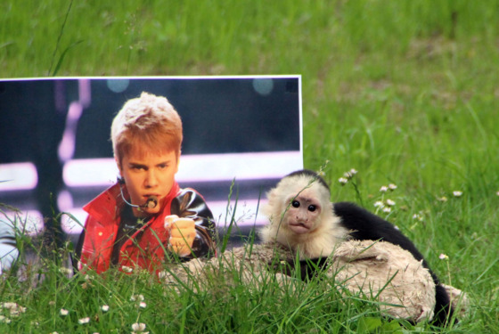 The ordeal of Mally, the 6-month-old pet monkey Justin Bieber abandoned in Germany, is finally coming to a happy end as he was today spending his first day at his new home - dubbed 'Mally-bu' - in a German zoo. Three months after the young capuchin monkey was left in Munich, after being confiscated by authorities when Bieber flew him into the country without papers, he is free to roam in his huge enclosure at the Serengeti Wildlife Park in Hodenhagen, in Northern Germany. He had spent 25 days in a mandatory quarantine after arriving at the zoo, chosen by German authorities, and now zookeeper Jenny Niew�¶hner - who has been with him everyday - has moved him to his final home, alongside his favorite cuddly toy. Having spent most of his life around humans, he will first be allowed time to get used to his surroundings before the members of his new family - seven white-headed capuchins - are very carefully introduced to live with him. The new monkey enclosure consists of an island with trees, a circular water pit and a house for the whole family.  <P> Pictured: Mally <P><B>Ref: SPL568022  270613  </B><BR/> Picture by: Serengeti Park / Splash News<BR/> </P><P> <B>Splash News and Pictures</B><BR/> Los Angeles:	310-821-2666<BR/> New York:	212-619-2666<BR/> London:	870-934-2666<BR/> photodesk@splashnews.com<BR/> </P>