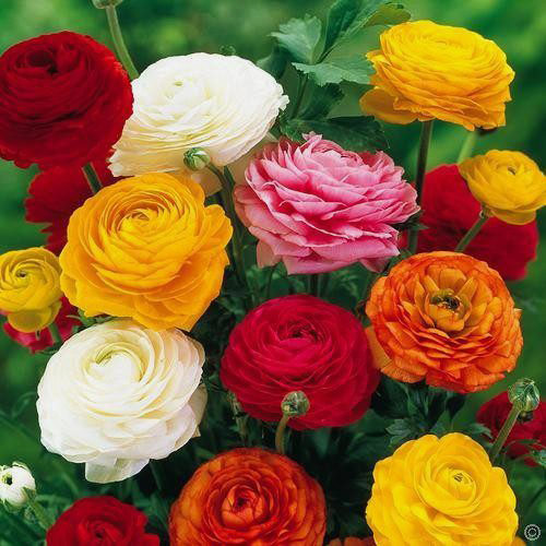 Ranunculus Asiaticus Mix, 20 bulbs