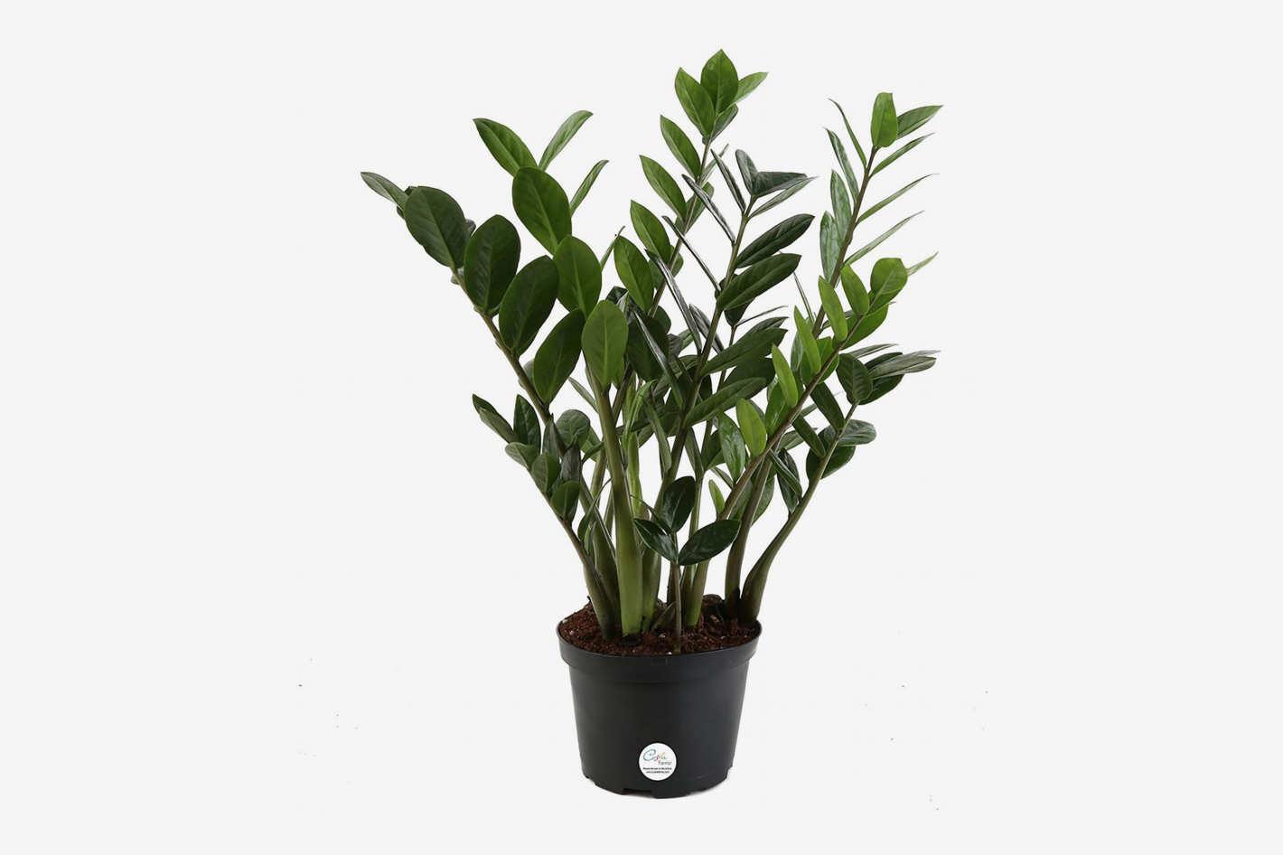 ZZ Plant (<em>Zamioculcas zamiifolia)</em>