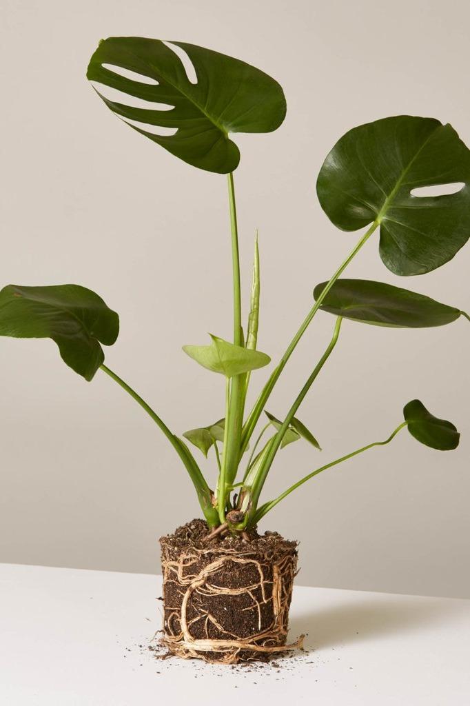 "6"" Monstera Plant"