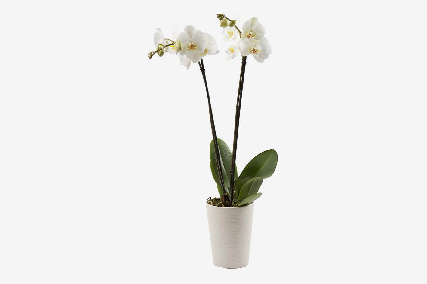 Color Orchids Live Double Stem Phalaenopsis Orchid in Ceramic