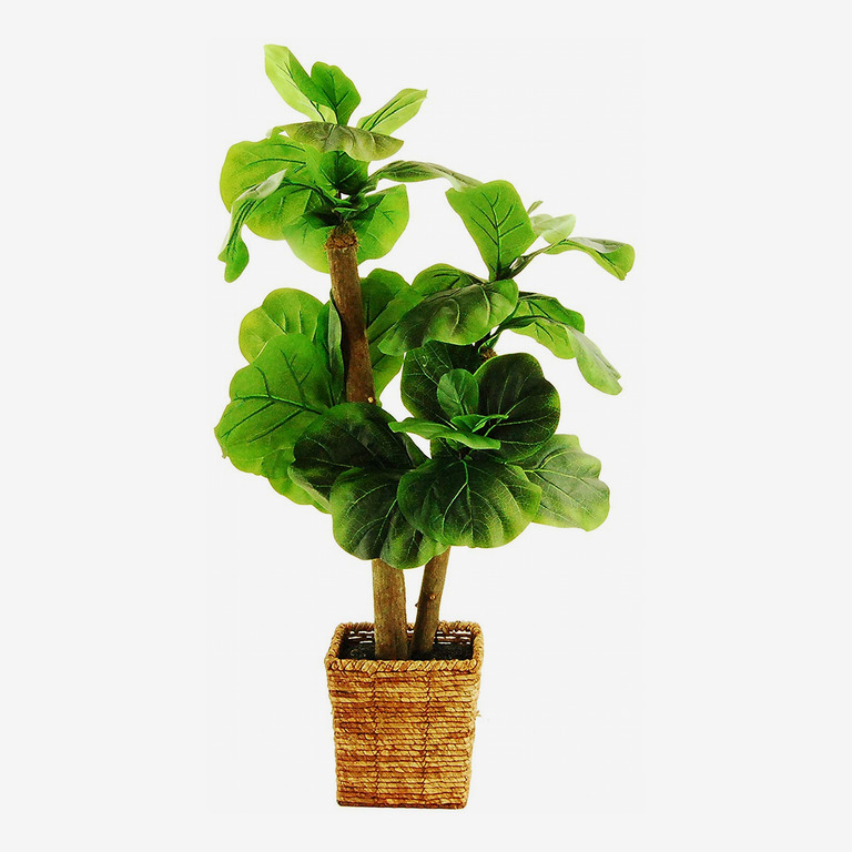Fiddle-Leaf Fig Tree in a Square Basket
