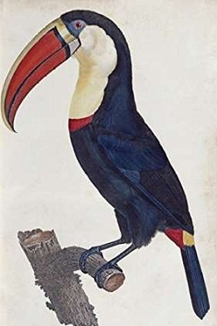 Posterazzi Toucan Poster Print by Francois Levaillant