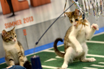 "**Embargoed til 2/5/2013** NEW YORK CITY, NY  - NOVEMBER 11:   Kittens play on the halftime set at the taping of Animal Planet's ""Puppy Bowl IX"" program in New York City, NY on November 11, 2012.   The mock football game will air as counter programming to the actual superbowl.  On the internet, puppy bowl has been a huge sensation and now in it's 9th year.   The puppies used in the show are from shelters and rescue organizations from across the country. The kittens in the half time show came from a shelter located in New York City.  (Photo by Linda Davidson / The Washington Post)"
