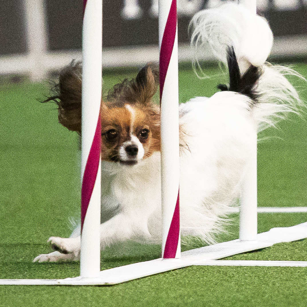 Rugby Dog Agility Show: The Cut