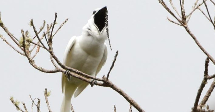 World's Loudest Bird Woos Females by Yelling in Their Faces
